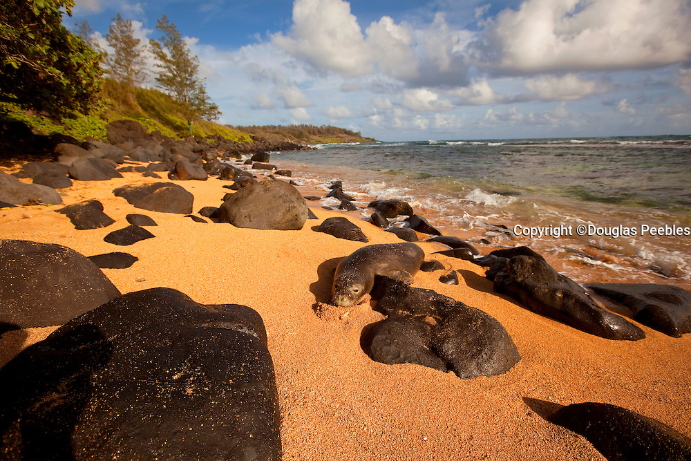 Monk seal, Aliomanu Beach, Kauai, Hawaii