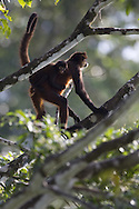 Adult and juvenile Spider monkey (Ateles geoffroyi), Osa Peninsula, Costa Rica