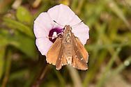 Ocola Skipper (Panoquina ocola)<br /> TEXAS: Victoria Co.<br /> Riverside Park; Victoria<br /> 14.Nov.2009<br /> J.C. Abbott
