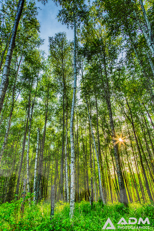 Sunlight through the trees, near Wasilla, Alaska