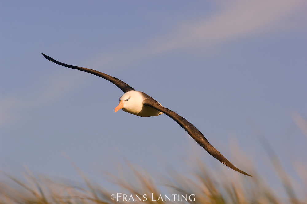 Black-browed albatross in flight, Thalassarche melanophrys, Steeple Jason Island, Falkland Islands
