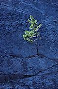 Pine on rock<br /> Thirty Thousand Islands region<br /> Ontario<br /> Canada