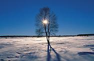 BEL, Belgium, winter at the high-moor Hohes Venn, moor-birches....BEL, Belgien, das Hochmoor Hohes Venn, das verschneite Venn im Winter, Moorbirken........