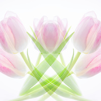 Multi-exposure (mirror)  montage, a grouping of translucent pink and white tulips. Semifinalist, NANPA 2017 Showcase.