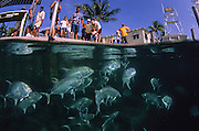 Crevalle Jacks, Caranx hippos, getting fed by tourists at the Sailfish Marina, Singer Island, Florida, United States.