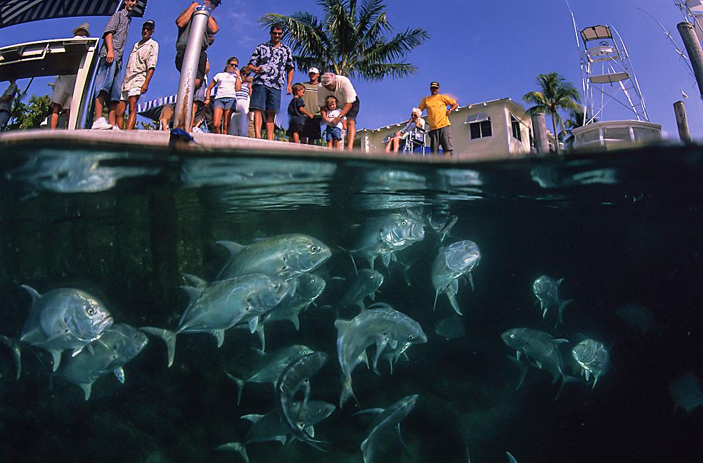 Crevalle Jacks, Caranx hippos, getting fed by tourists at the Sailfish Marina, Singer Island, Florida, United States.