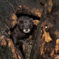 Europe Mink. Although similar to the American mink European mink are a different family. Out competed by the larger American mink European mink are now critically endangered.