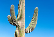 Saguaro moon. Lake Pleasant Regional Park, Arizona, USA