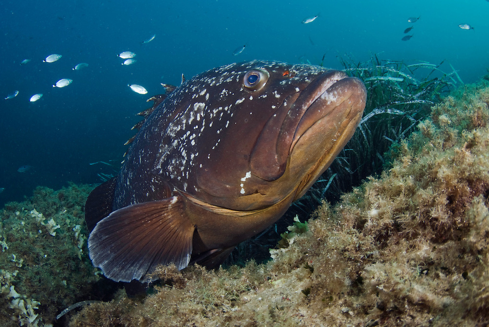 Dusky Grouper (Epinephelus marginatus) - 'endangered' in IUCN Red List - by seagrass<br /> France: Corsica, Lavezzi Islands, Cala di Grecu