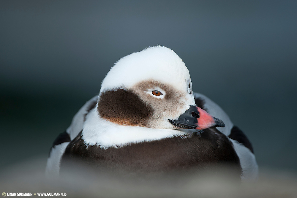 Male Long-tailed Duck (Clangula hyemalis).The soft foreground and background make the face stand out.