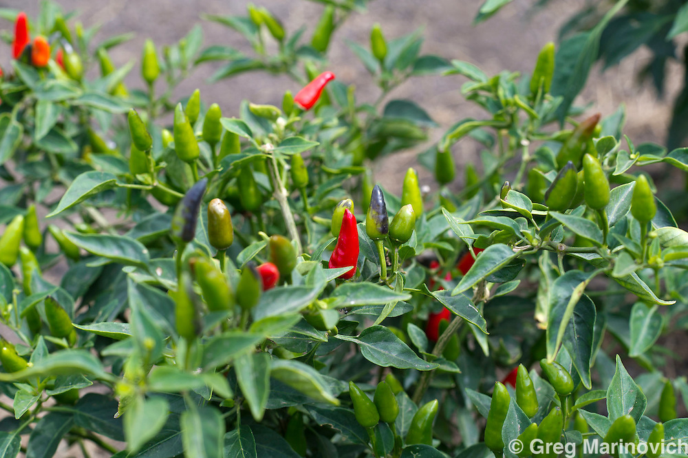 Elephant Pepper Farm, Marracuena, Mozambique. Sept 21, 2011. BF Birds Eye chillis near harvest. Photo Greg Marinovich/ Storytaxi