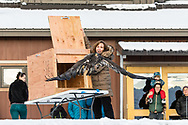 Rehabilitated juvenile Bald Eagle (Haliaeetus leucocephalus) is released to the wild  in the Chilkat Bald Eagle Preserve in Southeast Alaska. Winter. Afternoon.