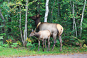 A radio-collared cow elk with her calf graze along the Day lake public access road near Clam Lake, Wisconsin.