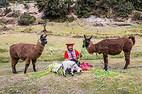 Cuzco, Peru - July 13, 2013: woman feeding alpacas and sheep near Tambomachay Incas ruins in at Cuzco Peru on july 13th, 2013