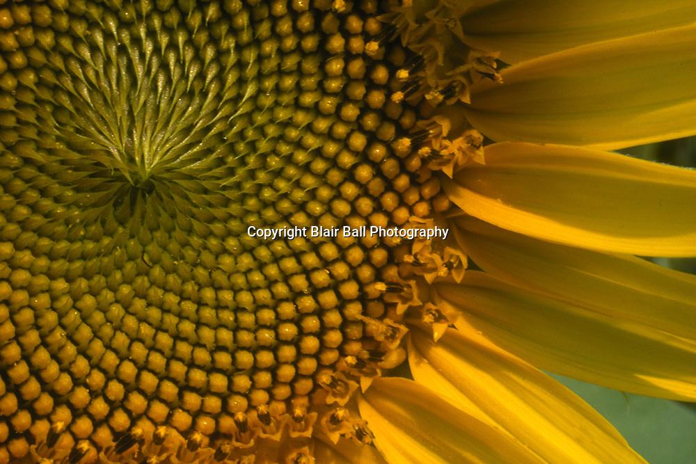 Sunflower in field near Agricenter Memphis TN