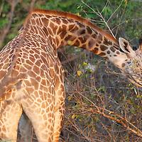 Thornicroft giraffe in South Luangwa National Park, Zambia.
