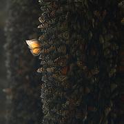 """Last light on a Monarch Butterfly (Danaus plexippus) during their winter gathering at.Santuario de la Mariposa Monarca """"Piedra Herrada"""".Estado de Mexico (MEXICO)"""
