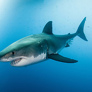 A great white shark deep underwater off Guadalupe Island, Mexico