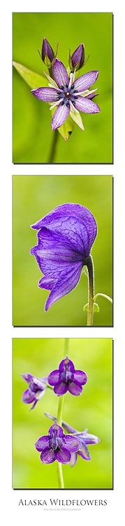 Triptych of Star Gentian, Monkshood, and Larkspur found in Southcentral Alaska.
