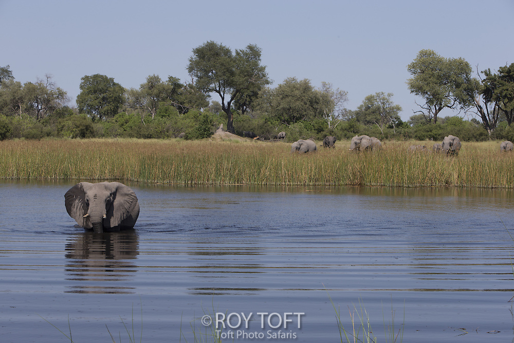 Herd of African elephants grazing and in water, Botswana