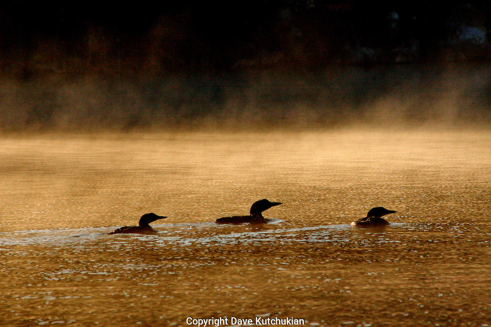 3 LOONS ON PEACHAM POND, VERMONT.  THE SILENCE WAS DEAFENING,AS THE FOG BEGAN TO RISE, THE WIND PICKING UP SLIGHTLY TO MAKE WHISPY,WASHBOARD RIPPLES ON THE WATER.