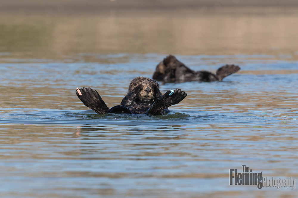 Flipper tags help researchers monitor individual and overall health of the Southern Sea Otter (Enhydra lutris) population.