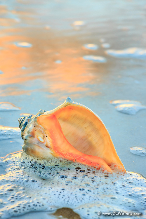 A whelk shell in the seafoam at the beach on Hatteras Island.