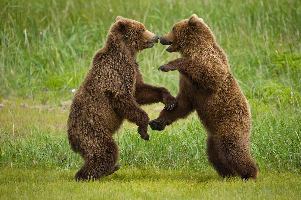 USA, Alaska, Katmai National Park, Brown Bears (Ursus arctos) sparring in meadow along Hallo Bay