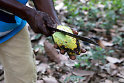 Freddy Akuffo hartvesting his Cocoa crop. All of Ghana's Cocoa is harvested by hand with machete's...Freddy Akuffo has been a cocoa farmer since 1969 when he inherited his farm from his father. Since he received his training, as part of the Kraft Cocoa Partnership, Freddy has seen his yield increase from 180 bags of cocoa a year to 220.