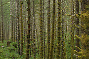 Juvenile trees in the Tillamook State Forest, Oregon. The area was extensively burned in a series of forest fires starting in 1933 which are now called the Tillamook Burn. The forest was replanted from 1949 to 1973 in the largest reforestation project of its kind.