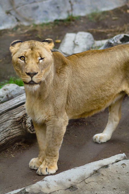 A one-eyed lion at the San Diego Zoo