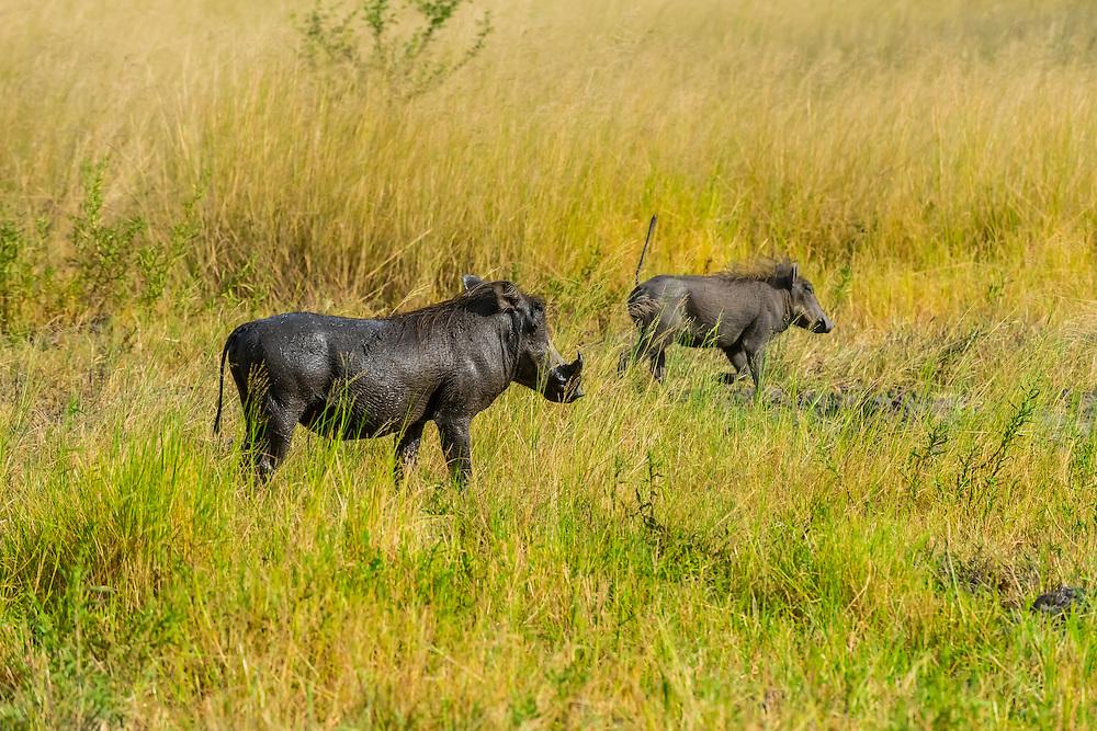 Warthogs, near Kwara Camp, Okavango Delta, Botswana.