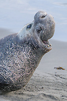 Northern Elephant Seal [Mirounga angustirostris] bellowing bull hauled out on the beach during birthing & breeding season, expressing dominance; Piedras Blancas, CA