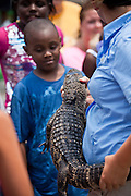 A juvenile American alligator (Alligator mississipiensis) held by a handler in Myrtle Beach, SC.
