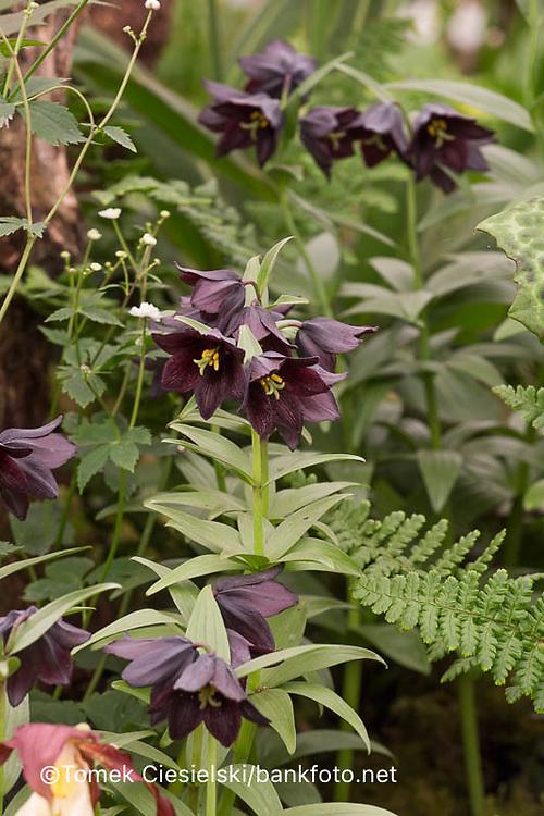 Fritillaria Kamschatcensis