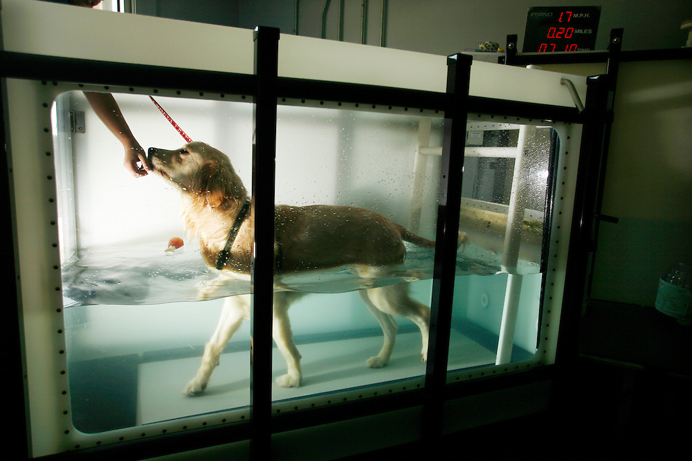 Sophie, a golden retriever who underwent a total hip replacement, walks on a treadmill submerged in water at the Animal Rehabilitation & Wellness Hospital in Raleigh, NC.