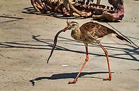 Cariama huppe: Red-legged seriema (Cariama cristata) est uneespeced'oiseaux, la seule dugenreCariama. Il frequente les prairies seches (cerrado) de l'est duBresiljusqu'au centre de l'Argentine. <br /> Considere comme l'un des plus importants parcs ornithologiques en Europe, le Parc des Oiseaux presente une collection d'oiseaux exceptionnelle de plus de 3000 individus, representant pres de 300 especes originaires de tous les continents.<br /> Exclusivites: Le spectacle d'oiseaux en vol, tous les jours, est un veritable festival de couleur