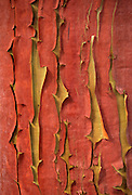Madrone tree bark detail (Arbutus menziesii). Shaw Island, Washington.
