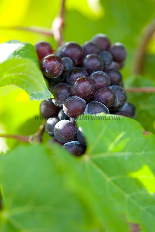 Grapes ready to be harvested for wine in the Prince Edward County region.