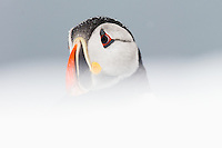 Lundefugl, lunde, (Fratercula arctica) fotografert mot snødekt mark, Finnmark.<br /> <br /> Atlantic Puffin (Fratercula arctica) in snow. Finnmark, northern Norway. April.