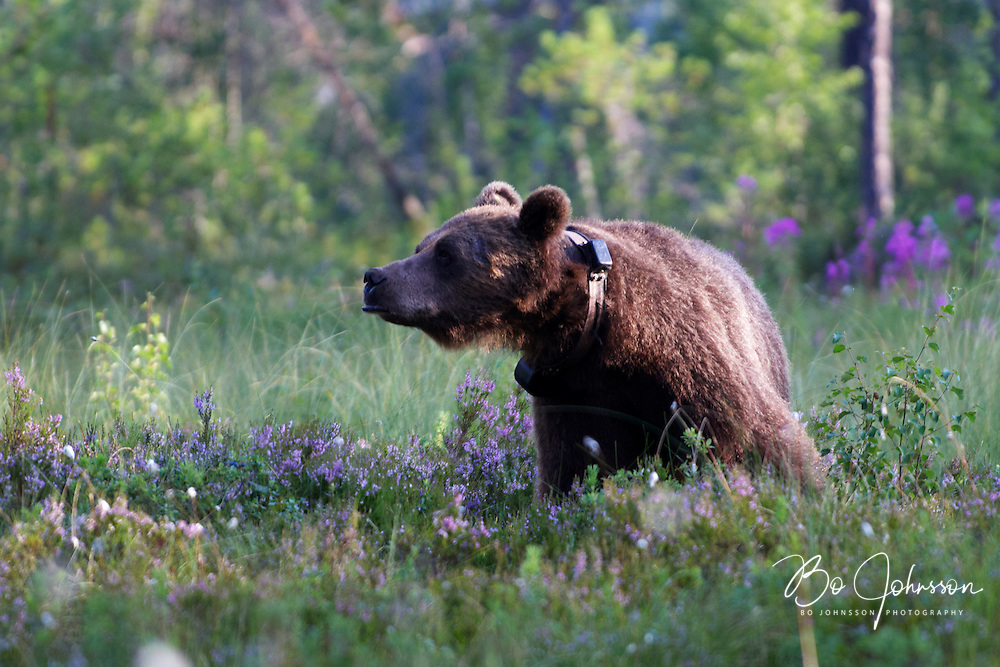 Wary male brown bear (Ursus arctos) in the wild forests near Edsbyn in Halsingland, Sweden.<br />