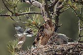 RED-TAILED HAWK NESTING BEHAVIOR 22 DAY OLD NESTLING