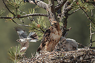 Red-tailed hawk watches without reaction as a mockingbird makes a threatening pass to protects its own territory or nest, © 2011 David A. Ponton