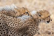 Cheetah (Acinonyx jubatus), Masai Mara, Kenya.