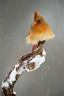 Female Northern Cardinal in winter snow