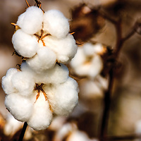 1859: Mississippi becomes the leading cotton producer in the nation.<br />