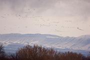 Snow Geese; Chen caerulescens, Bosque del Apache NWR, New Mexico