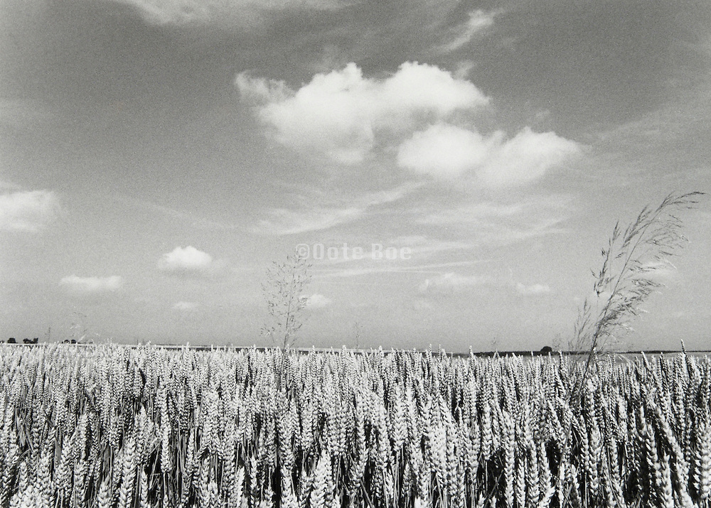 Field of grain Holland.