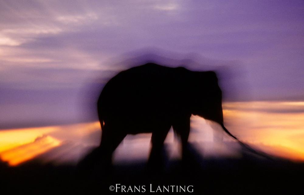 Asiatic elephant impression, Elephas maximus, Nagarahole National Park, Western Ghats, India