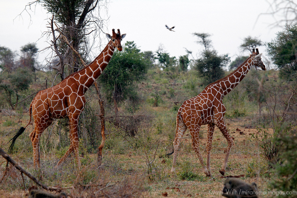 Africa, Kenya, Meru. Reticulated Giraffe of Meru National Park.